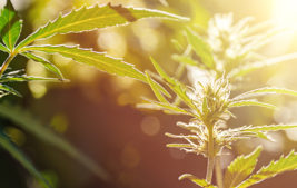 Navigating through the Weeds: Advice for Farmers and Businesses Considering Hemp Thumbnail