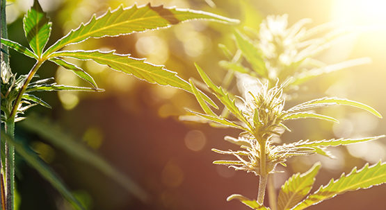 Navigating through the Weeds: Advice for Farmers and Businesses Considering Hemp Image